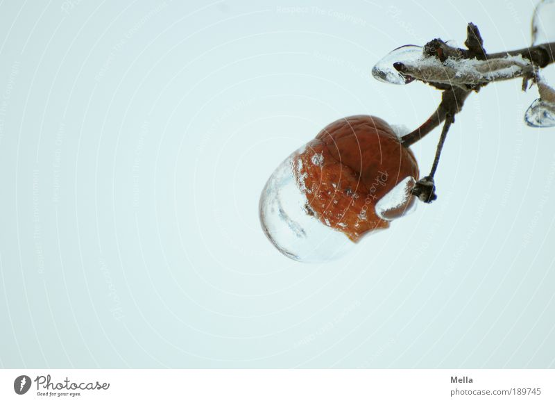 Glückshaube Natur Pflanze Winter kalt grau Eis Wetter Umwelt Frost Klima rein Ast natürlich außergewöhnlich frieren skurril