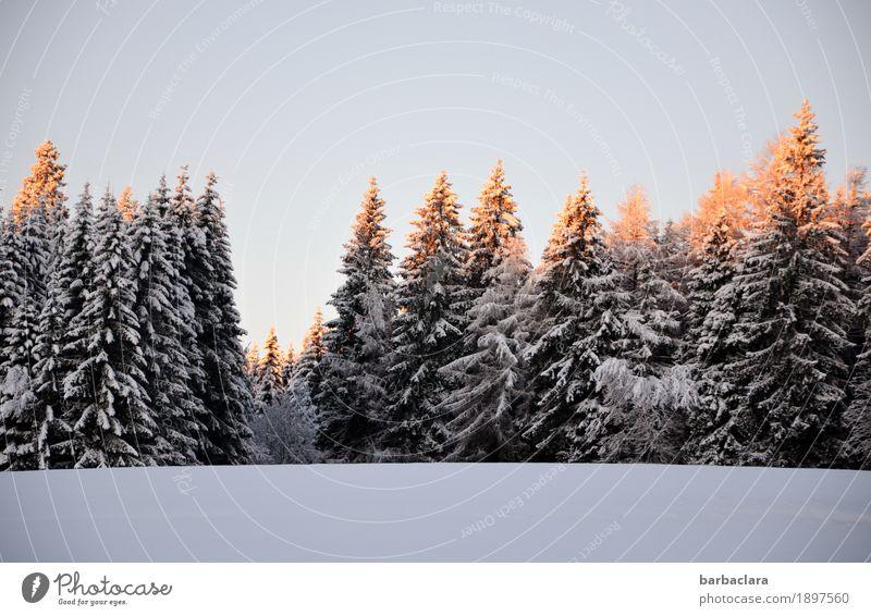 Endlich Schnee Natur Sonne Landschaft Freude Winter Wald Umwelt kalt Stimmung leuchten Klima Wandel & Veränderung Wolkenloser Himmel Tanne Erwartung