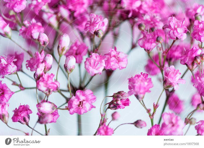 Rosa Schleierkraut vor weißem Hintergrund Gipskraut Pflanze Frühling Blume Blüte Rispenbusch Gysophila paniculata Garten Blumenstrauß klein rosa Freude