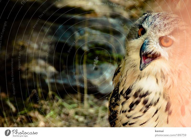 Sprechende Eule Umwelt Natur Tier Erde Pflanze Moos Stein Wildtier Tiergesicht Zoo Eulenvögel Uhu Kauz Feder Schnabel Auge gefiedert 1 Blick sprechen wild braun