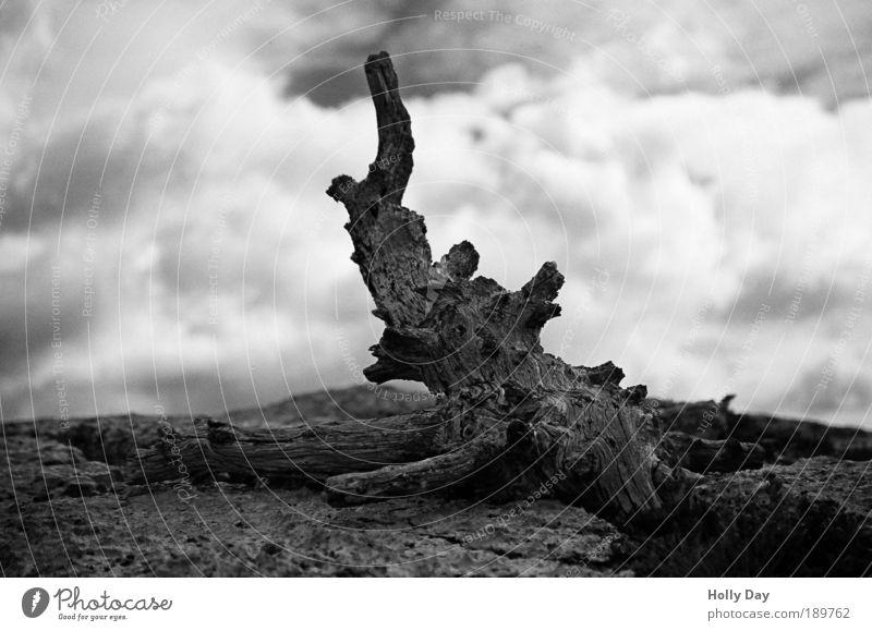 Altes Holz Umwelt Natur Pflanze Erde Himmel Wolken Sommer Dürre Baum Baumstamm Wurzel Wurzelholz Felsen alt authentisch schwarz Verzweiflung ästhetisch bizarr