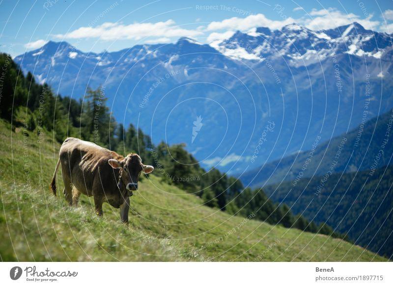 Cow in the alps Sommer Natur Erholung Idylle Kitsch Umwelt Ferien & Urlaub & Reisen alpin Blauer Himmel Italien Schweiz Alpen Alm Tier Kuh Fressen Gras