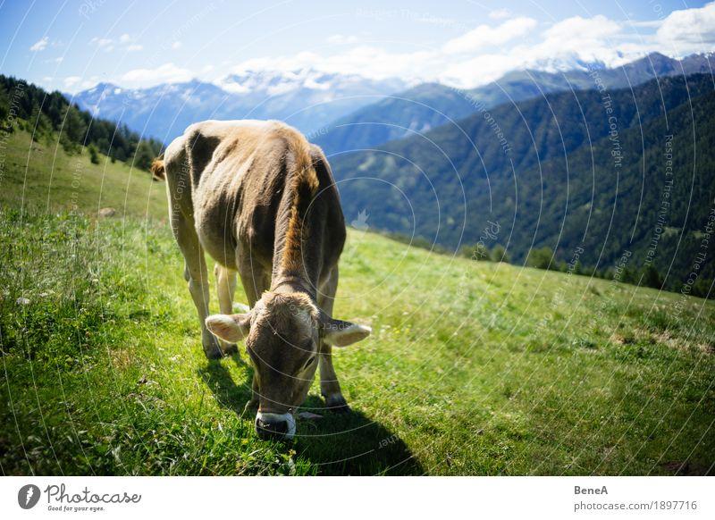 Cow in the alps Sommer Natur Erholung Idylle Umwelt Ferien & Urlaub & Reisen alpin Blauer Himmel Italien Schweiz Alpen Alpenwiese Bergwiese Tier Kuh Fressen