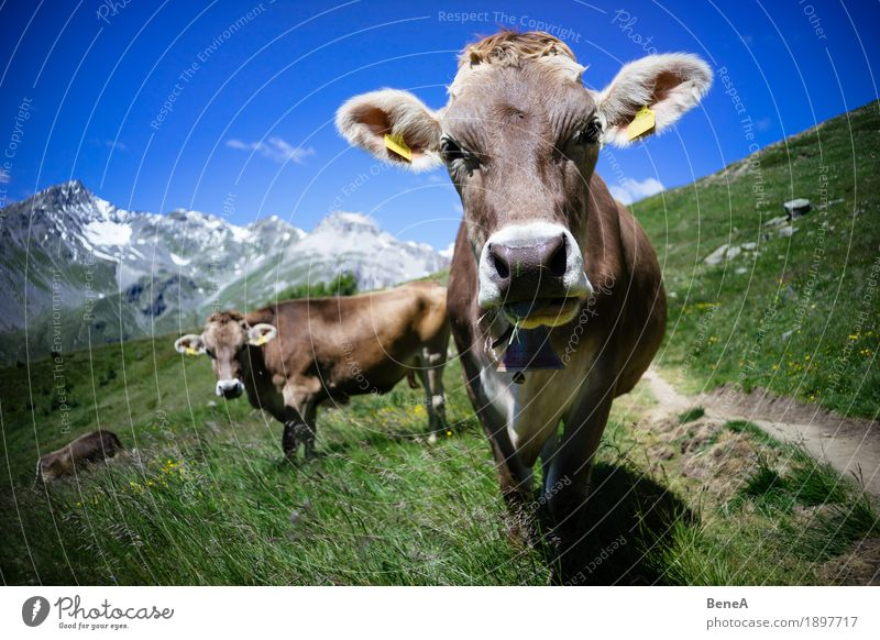 Cow in the alps Sommer Natur Erholung Umwelt Ferien & Urlaub & Reisen alpin Blauer Himmel Italien Schweiz Alpen Bergwiese Alpenwiese Tier Kuh Herde Fressen Gras