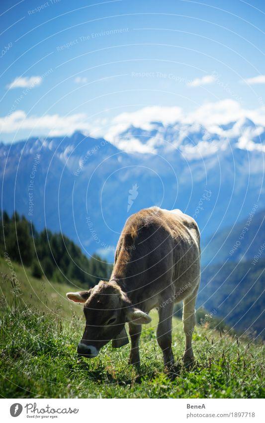 Cow in the alps Sommer Natur Erholung Umwelt Ferien & Urlaub & Reisen alpin Blauer Himmel Italien Schweiz Alpen Bergwiese Alpenwiese Tier Kuh Fressen Gras