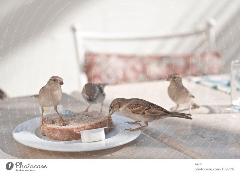 Ungehemmte Vögelei Tier Vogel Ernährung Lebensmittel Brot Teller Fressen frech Geschirr füttern Futter Vogelschwarm zutraulich Brotscheibe Feldsperling