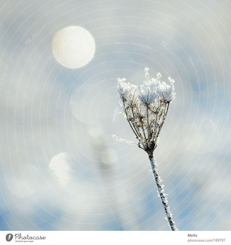 Weiterhin kalt Umwelt Natur Pflanze Sonnenlicht Winter Klima Klimawandel Wetter Eis Frost Schnee Gras Blüte frieren glänzend natürlich weiß Stimmung Eiskristall