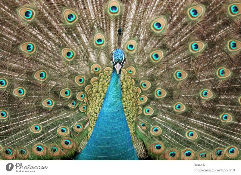 A peacock displaying and looking into the camera Natur ästhetisch exotisch Leidenschaft Mittelpunkt Tier Vogel blau Pfau Pfauenfeder Feder Muster Brunft grün