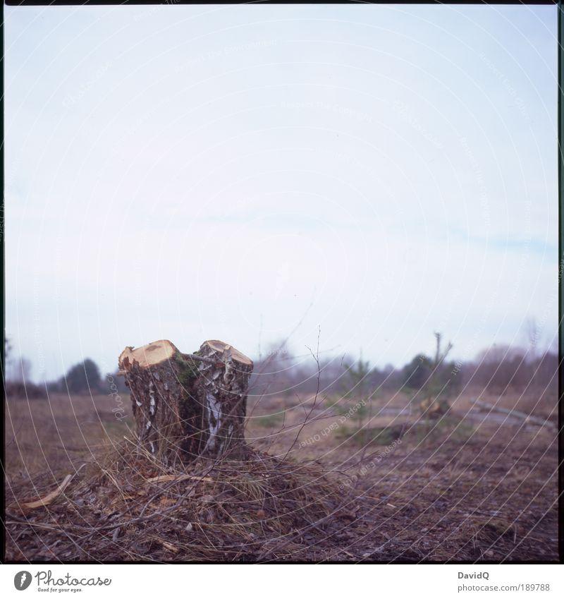 waldgewesen Umwelt Natur Landschaft Pflanze Herbst Baum Birke Trauer Tod Umweltverschmutzung verlieren Wandel & Veränderung Zerstörung Wald Forstwirtschaft