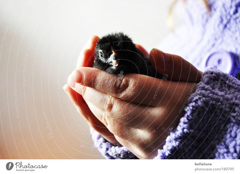 Sanft gehalten. Natur Hand weiß Tier schwarz Umwelt klein Wärme lustig Tierjunges Vogel natürlich neu Flügel weich niedlich