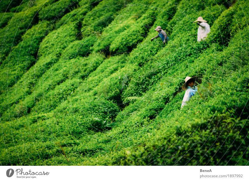 Pflücker arbeiten in einer Tee Plantage in Malaysia Mensch Arbeit & Erwerbstätigkeit nachhaltig Natur Tradition Umwelt Asien Landwirt Sträucher Ernte