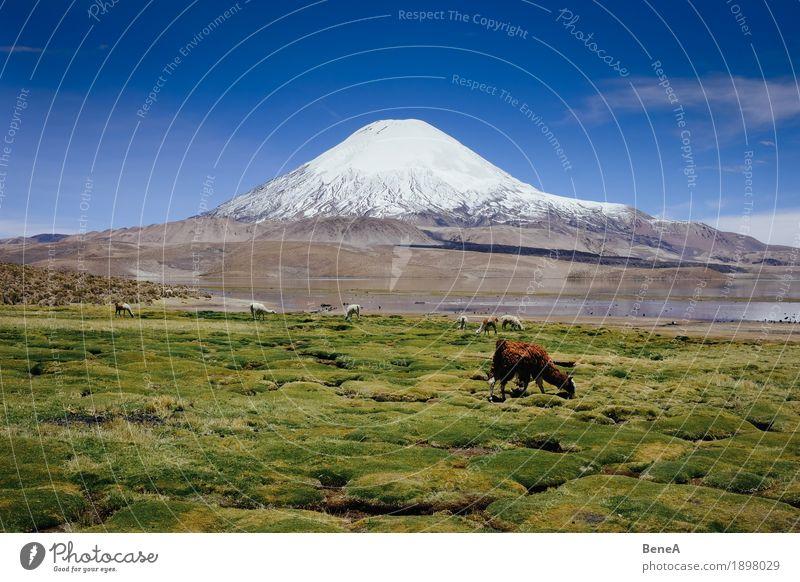 Llama in front of Parinacota Natur Ferien & Urlaub & Reisen grün Landschaft Tier Berge u. Gebirge Umwelt Wiese Schnee See wild Wildtier Tiergruppe Gipfel