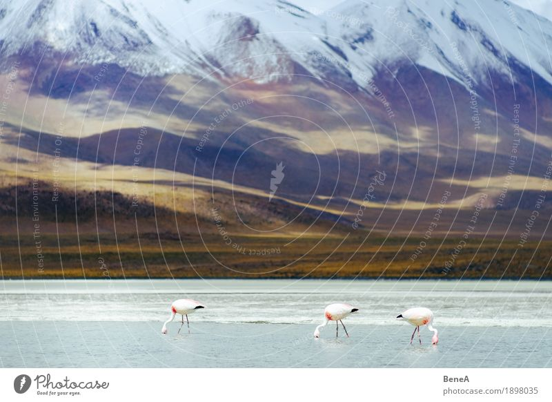 Flamingos in the Andes Herd & Backofen rosa exotisch Leben Natur Umwelt Ferne Salt Lake Wading Water White Anden Tier Vogel Bolivien Fressen Menschengruppe