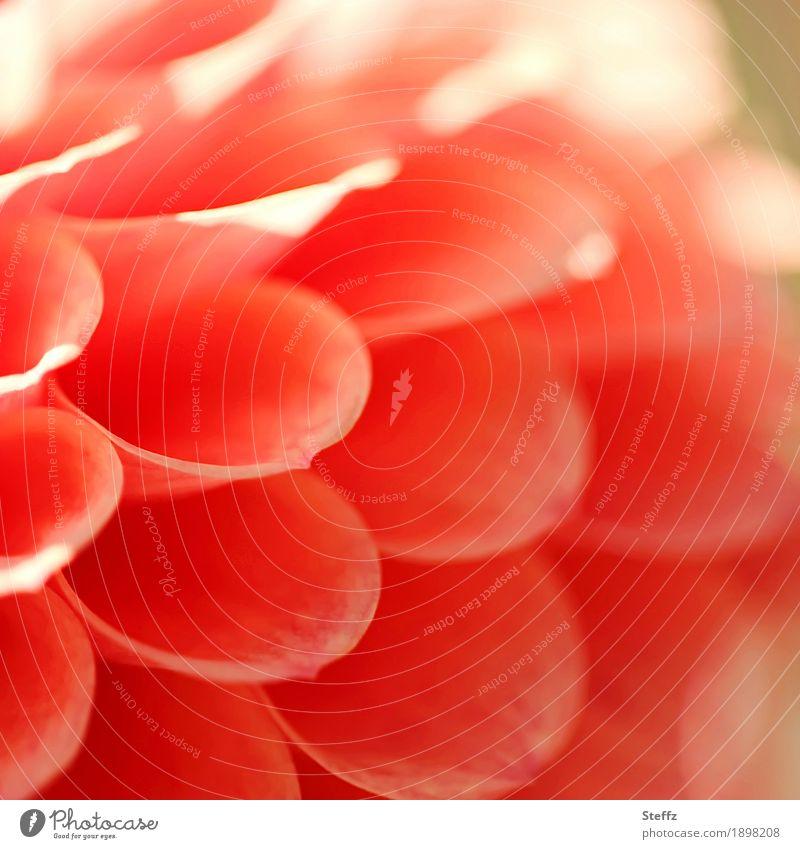 Ein bisschen Sonne Dahlie Dahlien Blume Altweibersommer Gartenblume lichtvoll Indian Summer Sonnenlicht Symmetrie sommerlich orange Gartenblumen Lichtstimmung