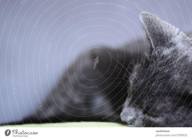 Pause Tier Haustier Katze 1 Erholung liegen schlafen grau silber Zufriedenheit Vertrauen Sicherheit ruhig Moritz carölchen Hauskatze Katzenkopf Katzenohr