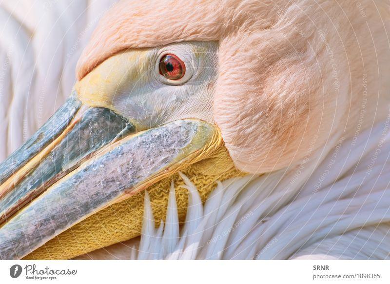 Porträt von Pelikan Tier Vogel 1 wild Vogelwelt Schnabel Geldscheine neb Ostpelikan großer Vogel pelecanidae Pelecanus onocrotalus rosa Pelikan Kehlsack
