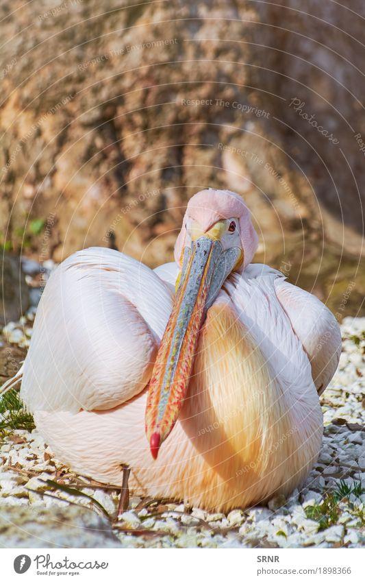 Großer weißer Pelikan Tier Vogel 1 wild Vogelwelt Schnabel neb Wasservogel Fauna Gefieder Tierwelt federleicht gefiedert langer Schnabel großer Vogel