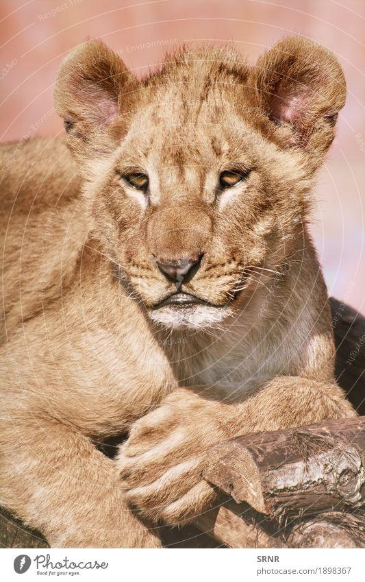 Porträt des jungen Löwen Tier Wildtier Katze Pfote 1 wild Raubkatze Löwin Löwenjunges junger Löwe Welpe Vorfuß Vorderbein Vorderpfote Säugetier Maul