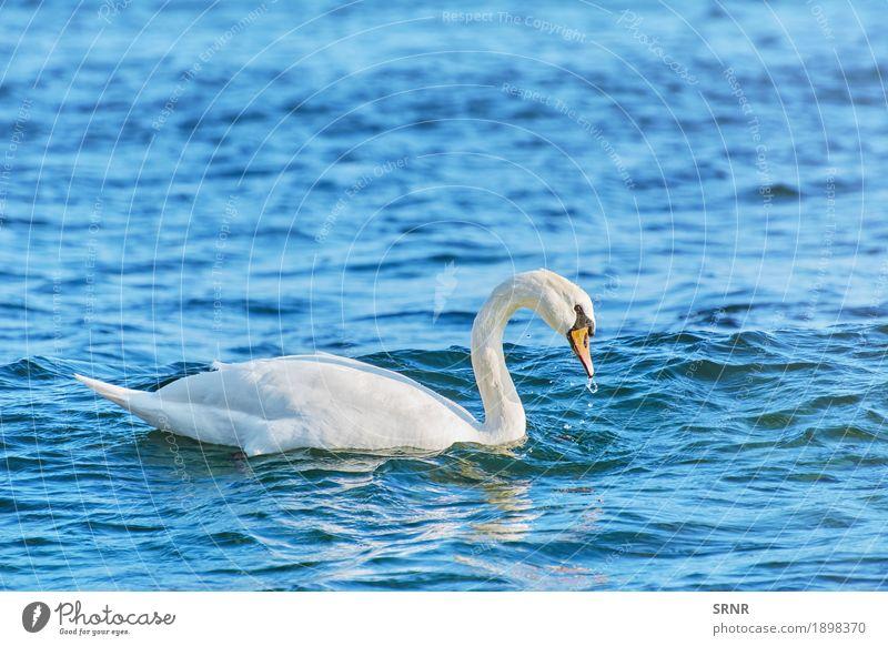 Weißer Schwan auf Schwarzem Meer Natur Wasser Tier See Vogel wild Schnabel Geldscheine Entenvögel Rippeln Riffel aquatisch