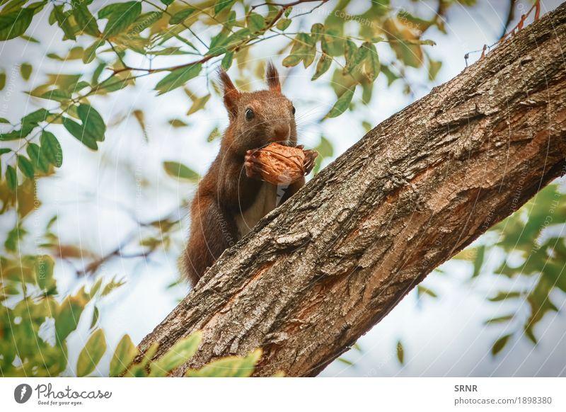 Eichhörnchen mit Walnuss Natur Baum Tier Wald Essen wild Wildtier sitzen Appetit & Hunger Säugetier Halt Nagetiere