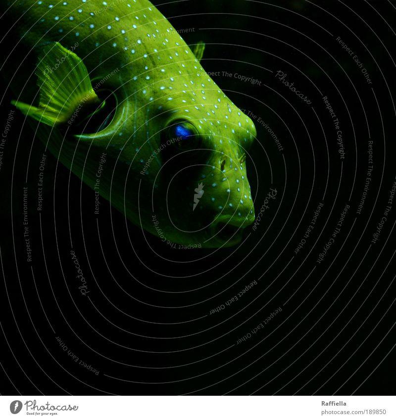 yellowbird Tier Fisch Flügel Aquarium 1 beobachten Bewegung leuchten tauchen träumen Traurigkeit Flosse gelb blau Schattenspiel Auge Punkt gleiten grün Farbfoto