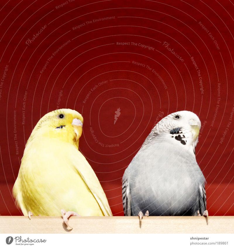 Die Zwitscherlinge blau Tier gelb Wärme grau braun Vogel gold sitzen Tierpaar wild frei Papageienvogel Flügel Küche Neugier