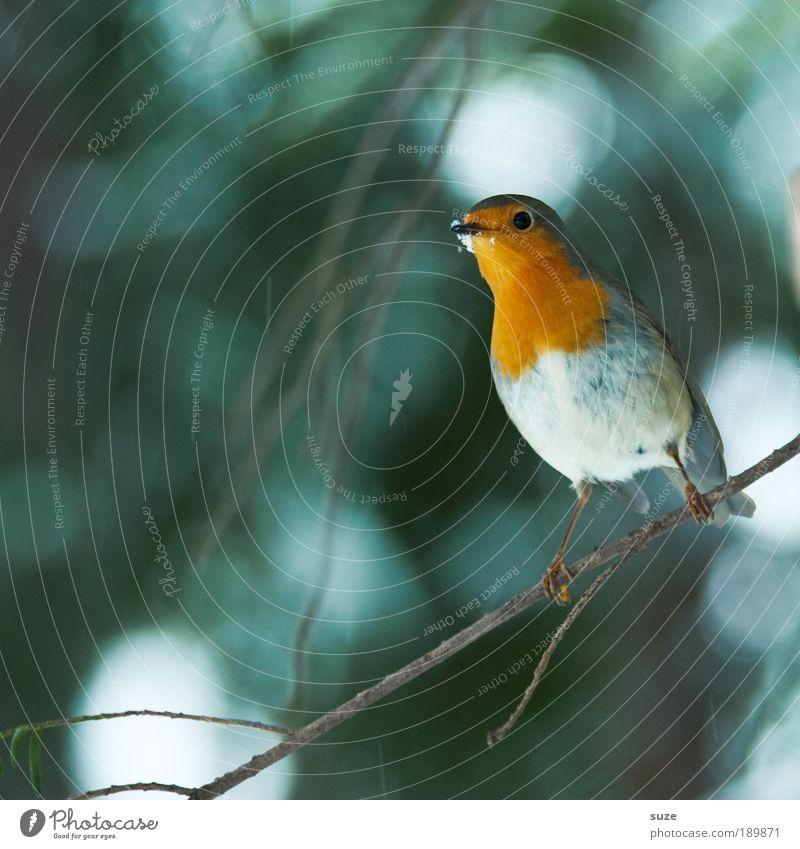 Rotkehlchen Natur grün Baum rot Tier Winter klein Vogel sitzen Wildtier warten niedlich Feder Ast Jahreszeiten Zweig