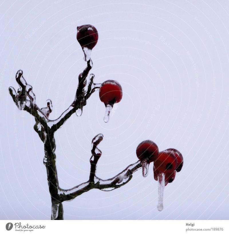 Apfeleis... Natur schön Himmel Baum Pflanze rot Winter dunkel kalt grau Eis braun klein Umwelt ästhetisch Frost