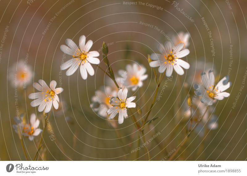 Sternmiere elegant Stil Design einrichten Dekoration & Verzierung Tapete Poster Bild Postkarte Muttertag Natur Pflanze Frühling Sommer Blume Blüte Wildpflanze