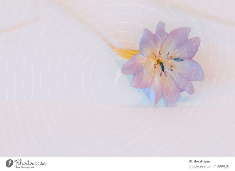 Kleine zarte Blume Design Dekoration & Verzierung Tapete Muttertag Natur Pflanze Sommer Blüte Topfpflanze Blühend liegen schön blau violett weiß filigran