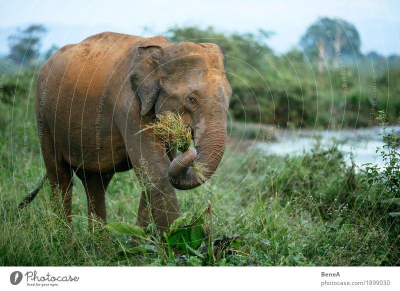 Elefant frisst Gras im Udawalawe Nationalpark, Sri Lanka Himmel Natur Ferien & Urlaub & Reisen grün Baum Landschaft Tier Umwelt Essen See wild Wildtier Idylle