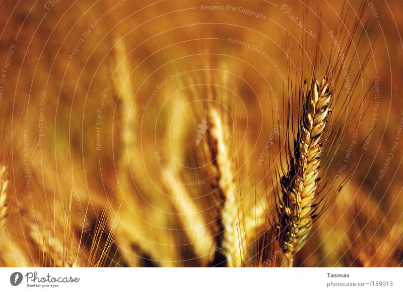 """Fangis im Rogge"" Natur Pflanze Nutzpflanze gelb gold Roggen Roggenfeld Getreide Getreidefeld reif Feld Tag Gedeckte Farben Warme Farbe Roggenähren Farbfoto"