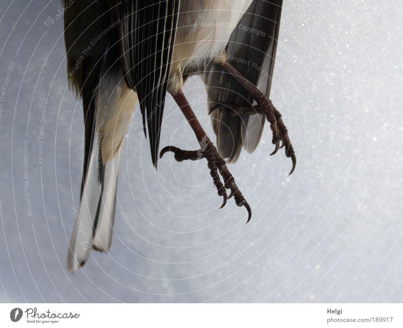 armer kleiner Kerl... Winter Eis Frost Schnee Tier Wildtier Totes Tier Vogel Flügel Krallen Buchfink 1 frieren liegen authentisch kalt natürlich braun schwarz