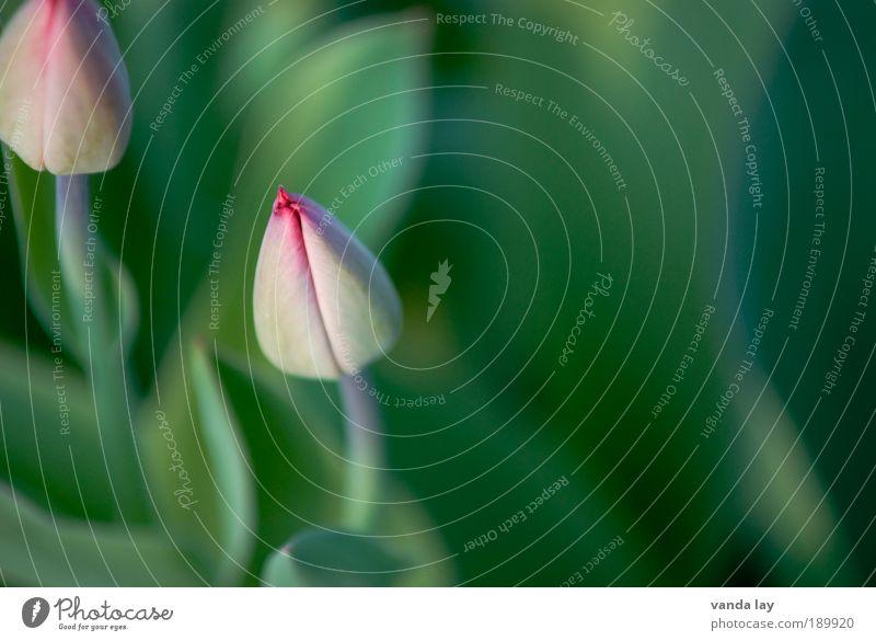 Frühling kann kommen Umwelt Natur Pflanze Blume rein grün rosa Tulpe Frühblüher geschlossen Blütenknospen März April Mai Hintergrund neutral Farbfoto
