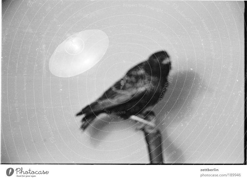 Amsel Natur Beleuchtung Lampe Vogel gestellt Biologie Star ausgestreckt Ornithologie Vogelschwarm ausgestorben Exklusivität ausstoßen ausgesetzt Fink