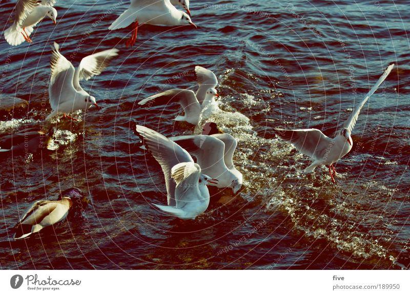 flugverkehr Umwelt Wasser Schönes Wetter See Tier Vogel Flügel Möwe Tiergruppe fliegen Neid Gier Ungerechtigkeit Farbfoto Außenaufnahme Licht Kontrast