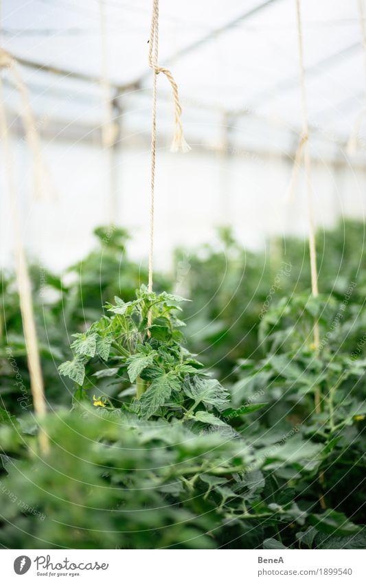 Tomaten wachsen in einem Gewächshaus einer Gärtnerei Natur Pflanze grün natürlich Lebensmittel Wachstum Sträucher planen Landwirtschaft Ernte Bioprodukte