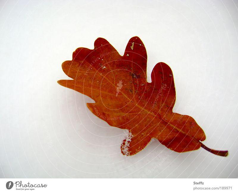 Das letzte Eichenblatt Umwelt Natur Winter Schnee Pflanze Blatt Blattadern Herbstlaub Einsamkeit Winterstimmung Vergänglichkeit untergehen braun-weiss Dezember