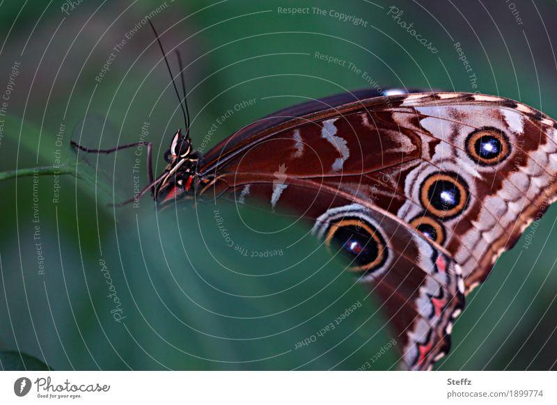 Ein Moment im Leben Schmetterling Flügelmuster Fühler Blauer Morphofalter Edelfalter Himmelsfalter exotischer Schmetterling Tropenfalter tropischer Falter