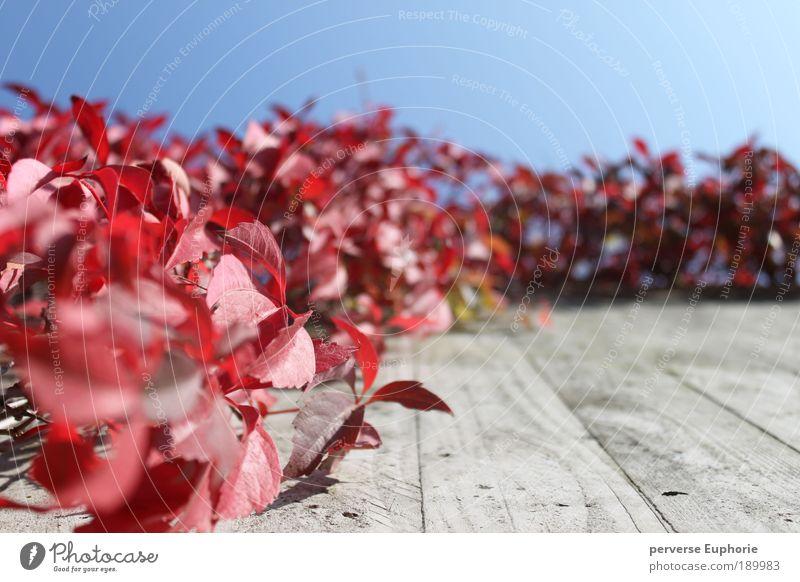 red passion Natur Himmel blau Pflanze rot ruhig Blatt Herbst Wand grau Mauer Umwelt Fassade Froschperspektive Perspektive Wolkenloser Himmel