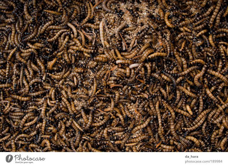 Würmerhaufen Wurm Tiergruppe Brunft Bewegung krabbeln dreckig dunkel Ekel hässlich klein braun gold schwarz chaotisch Tod China Insekt Shanghai Farbfoto