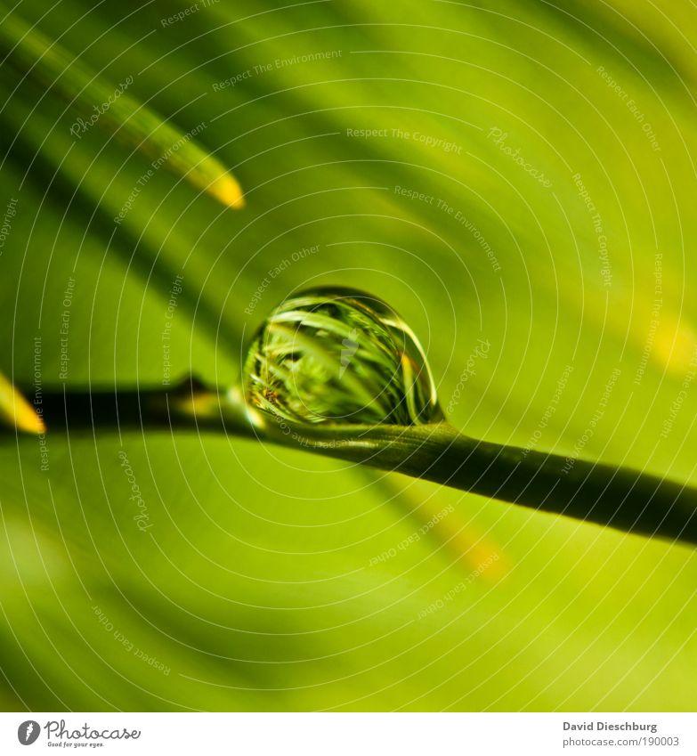 Nature in the pearl Pflanze Wasser Frühling Sommer Grünpflanze grün silber glänzend nass Tau Tannennadel Farbfoto Nahaufnahme Detailaufnahme Strukturen & Formen