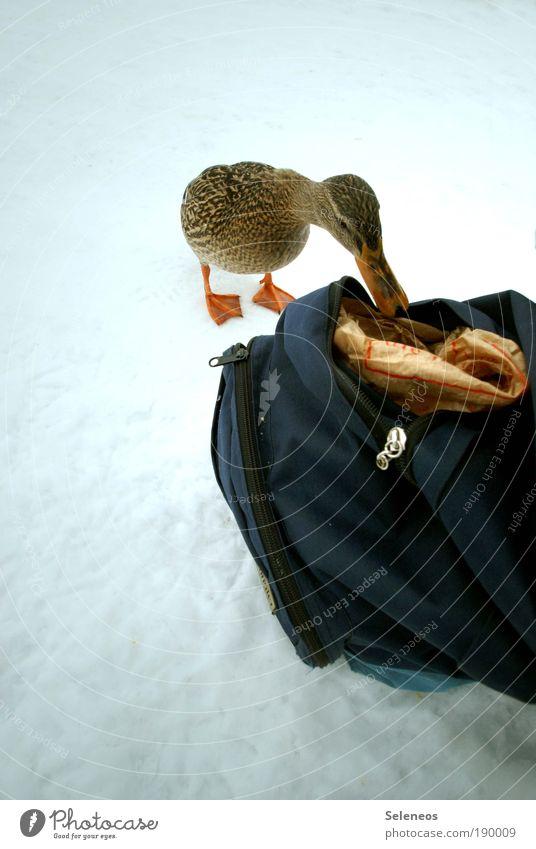 Ente Tier Winter Umwelt kalt Schnee Eis Wetter Frost Neugier Tiergesicht entdecken Fressen Schnabel füttern Futter