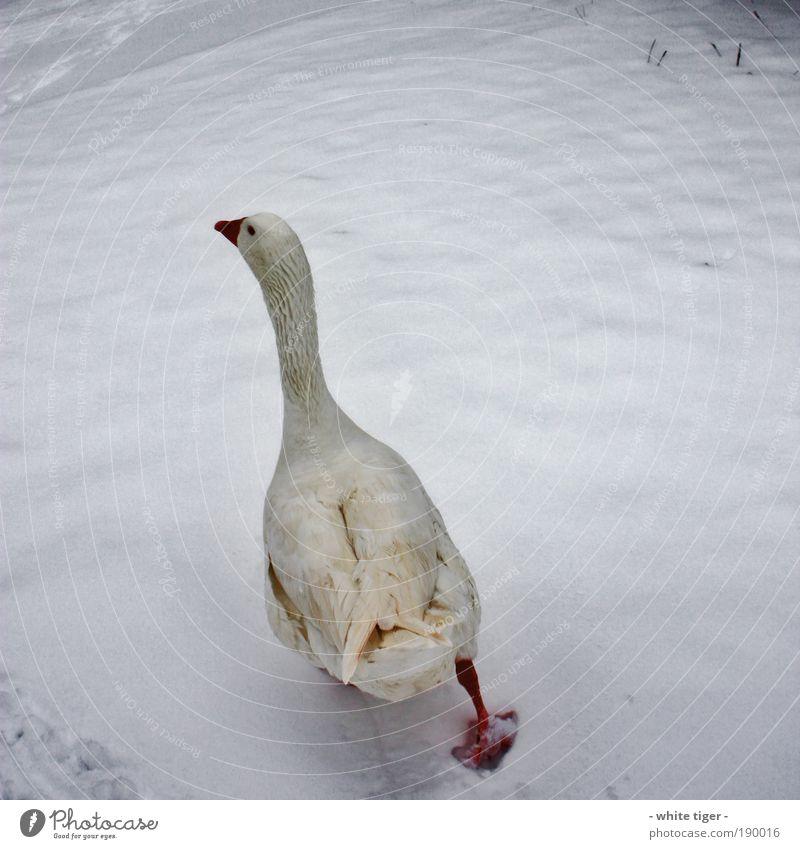 walk away Eis Frost Schnee Tier Nutztier Wildtier Vogel Flügel Fährte 1 Brunft gehen dick frech lustig Wut gelb rot weiß Einigkeit Leben Ausdauer Bewegung kalt