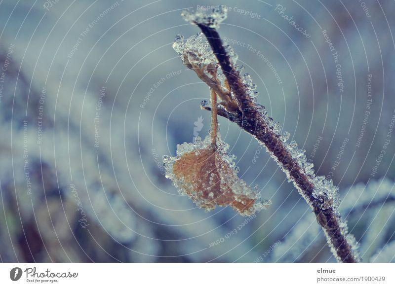 eisig Natur Pflanze Winter Eis Frost Blatt Väterchen Frost frieren hängen kalt ruhig standhaft Hoffnung Sehnsucht Einsamkeit ästhetisch bizarr Ende Kreativität