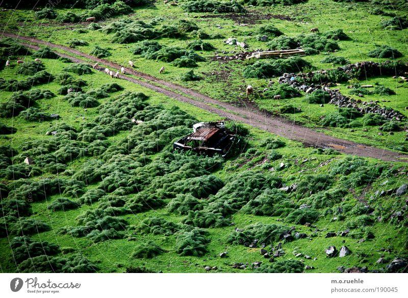 car and pigs Ferien & Urlaub & Reisen Landschaft Erde Sommer Schönes Wetter Gras Sträucher Wiese Insel Sardinien Nutztier Ferkel Schaf Tiergruppe grün Identität