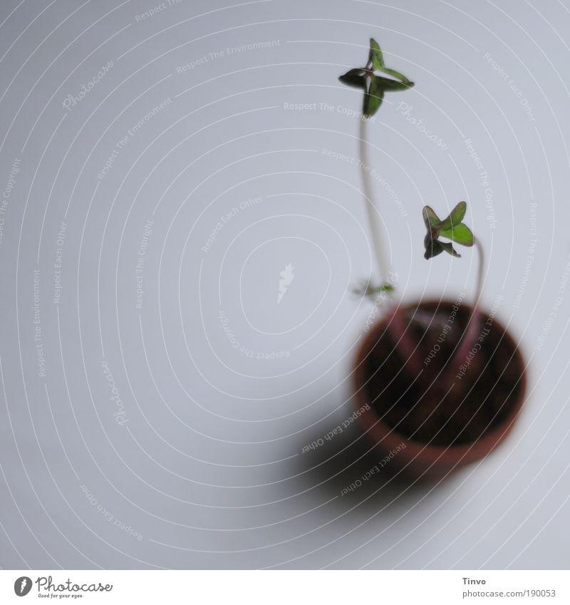 Glück kann wachsen Erde Pflanze Blatt Topfpflanze Optimismus Wachstum Glücksklee Klee Blumentopf Perspektive minimalistisch Farbfoto Innenaufnahme