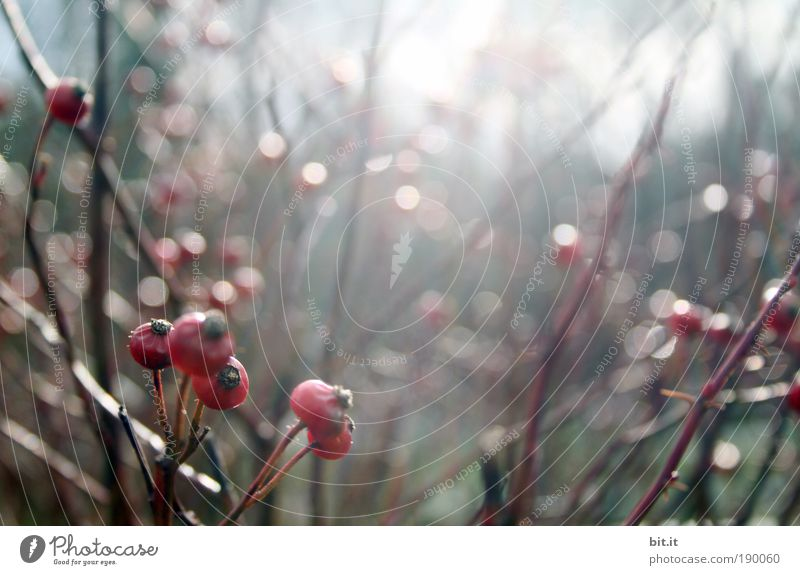 PUNKT, PUNKT, BEERE Umwelt Natur Landschaft Pflanze Sonnenlicht Winter Nebel Regen Grünpflanze beere Beeren Beerensträucher Licht Park glänzend Lichtpunkt