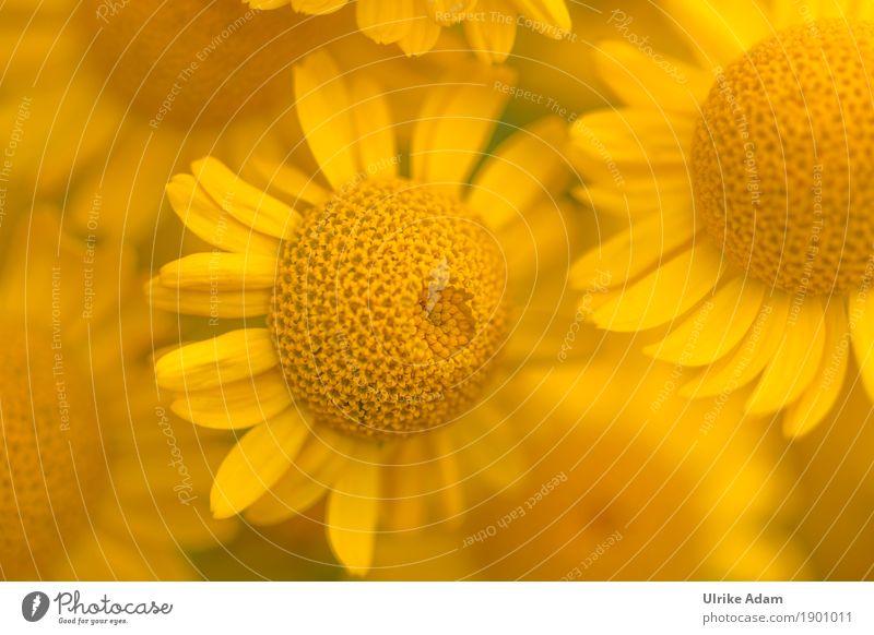 Ein Traum in Gelb Färberkamille (Anthemis tinctoria) Natur Pflanze Sommer Blume gelb Blüte Innenarchitektur Stil Garten Design Park Feld Dekoration & Verzierung Blühend Kräuter & Gewürze Postkarte