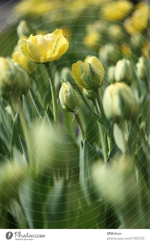 aufblühen Umwelt Natur Pflanze Blume Tulpe Blatt Blüte Grünpflanze Park Blühend Duft Wachstum einfach gelb grün Verliebtheit trösten geduldig ruhig